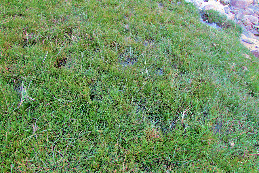 Herbazal de Carex gayana y Eleocharis pseudoalbibracteata