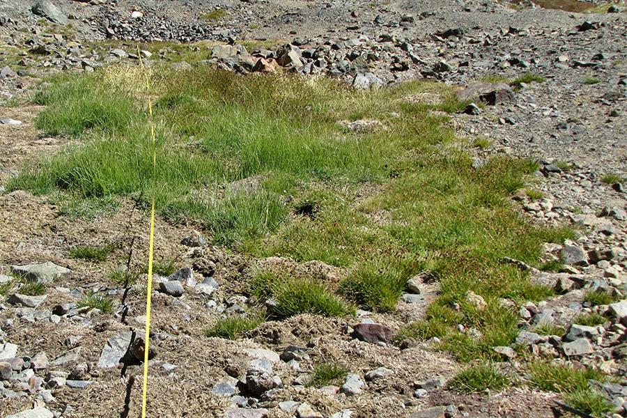Herbazal de Carex macloviana