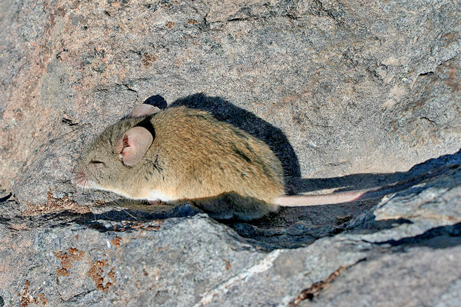 Ratón orejudo de Darwin