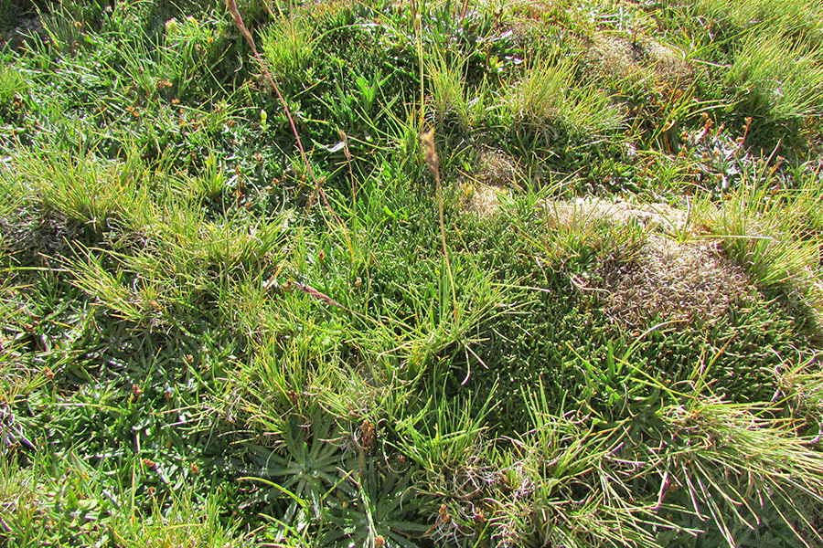 Herbazal de Eleocharis melanomphala y Carex gayana