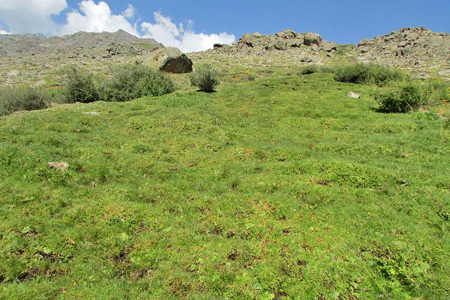 Herbazal de Juncus stipulatus y Azorella trifoliata