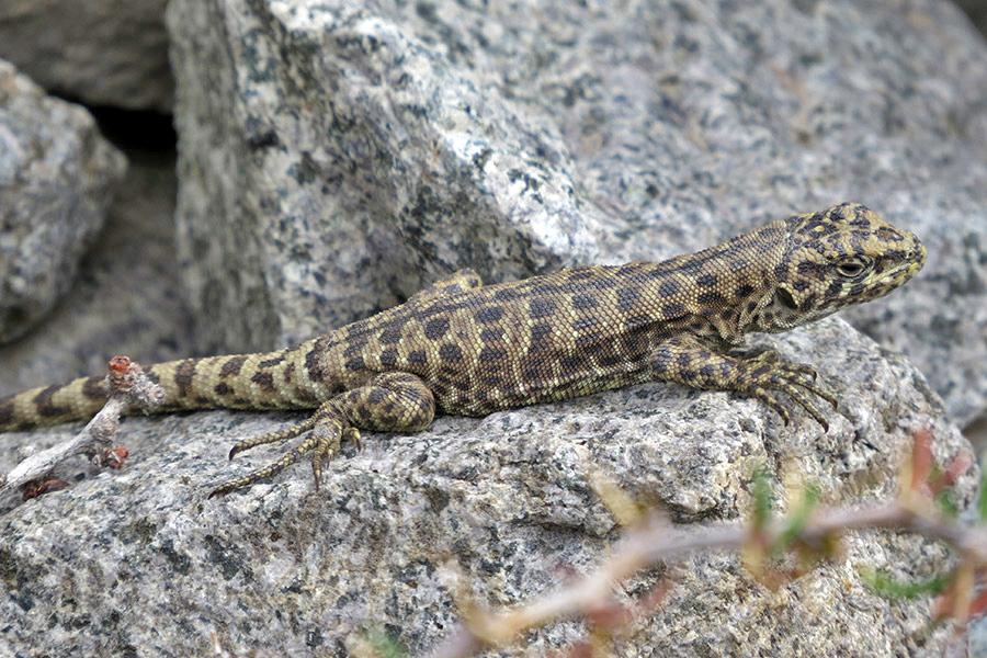 Lagartija leopardo