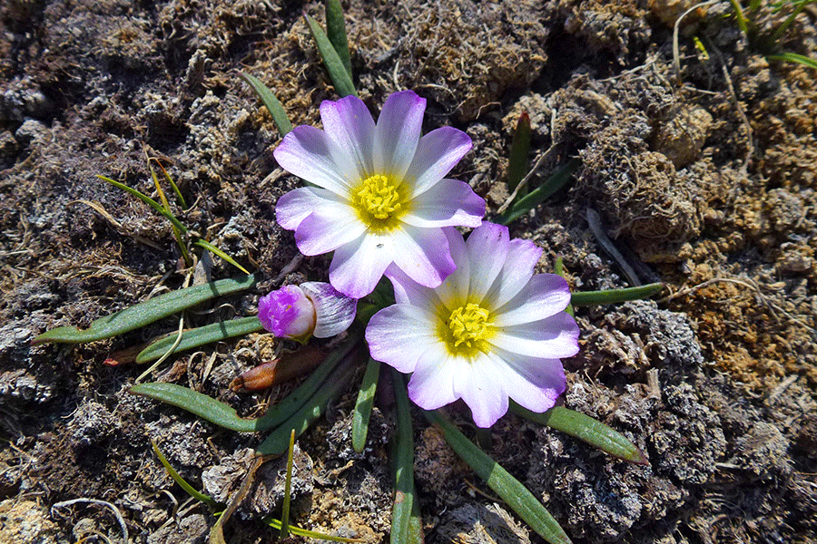 Quiaca, doquilla, flor de la mistela