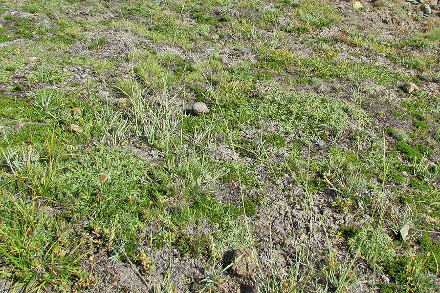 Herbazal de Plantago barbata