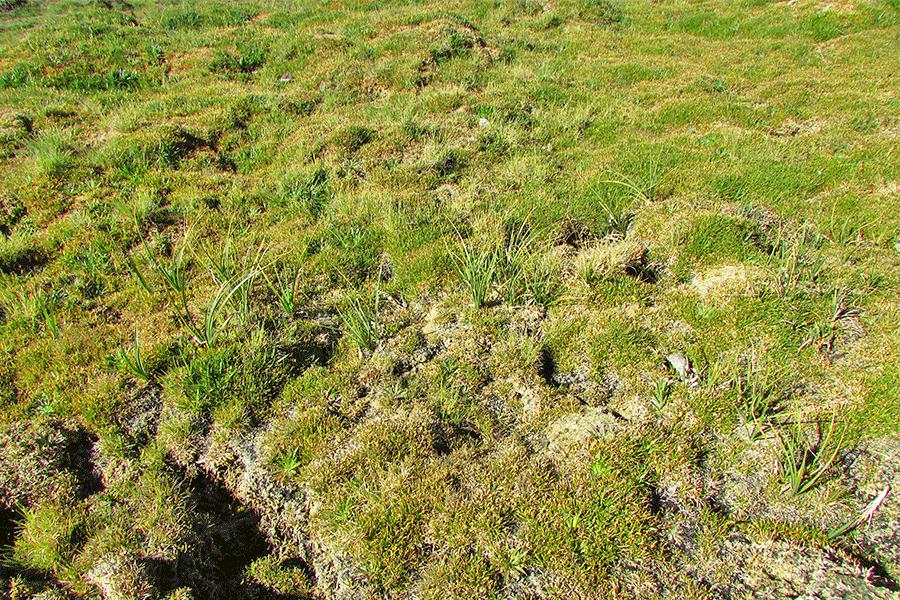 Herbazal de Patosia clandestina y Deyeuxia velutina