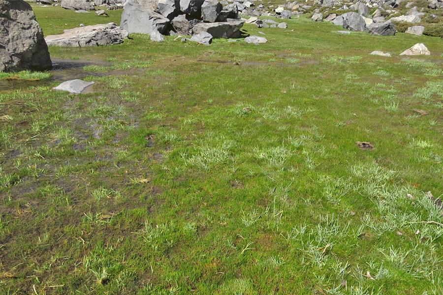 Herbazal de Poa acinaciphylla